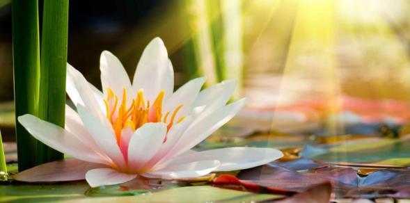Flor-de-Loto-purifica-y-reconecta-con-la-espiritualidad